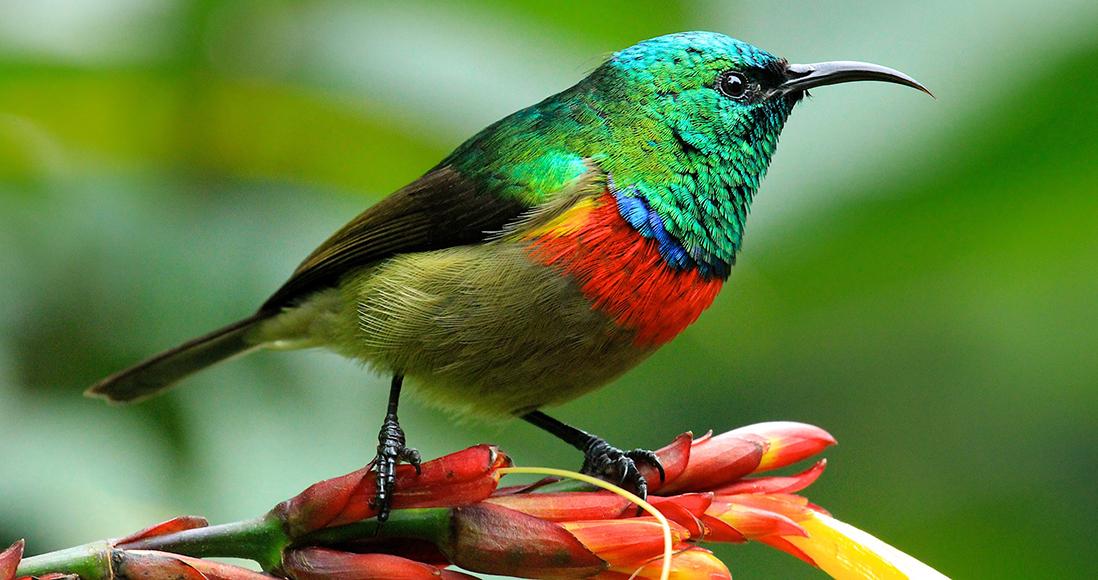 Eastern Sunbird